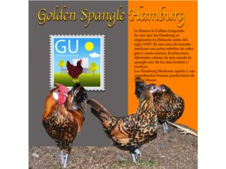Pollitos de Golden Spangle Hamburg, GALLINAS URBANAS