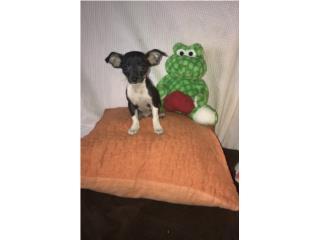 Chihuahua bello Puerto Rico