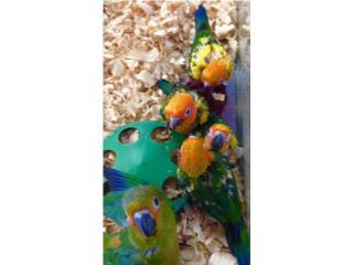 Bebes de sun conuro, Isabela Pet Shop