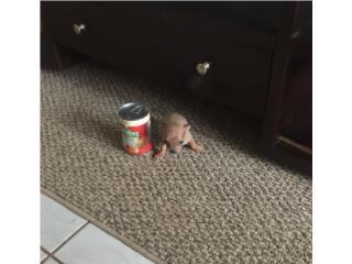 CHIHUAHUA BOLSILLO NENE DORADITO , Pets