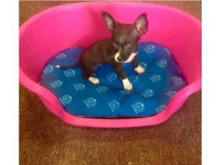 Chihuahua hembra de bolsillo , Family Pets