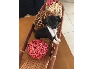 Chihuahua de las pequeñitas preciosa, LoLa Mascotas