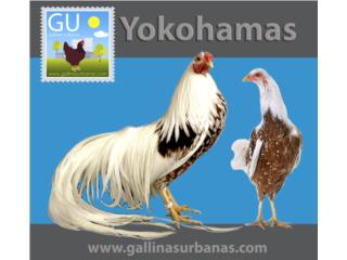 Pollitos de Red Shoulder YOKOHAMAS, GALLINAS URBANAS