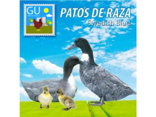 Patitos Swedish 787-647-4447, GALLINAS URBANAS
