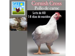 Lote de 60 Cornish Cross de carne de 16 dias , GALLINAS URBANAS