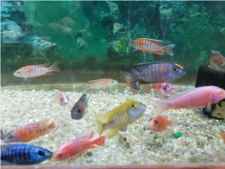 VARIEDAD DE PECES CICLIDOS, OUTLET PET CENTER & CENTRO AGRICOLA