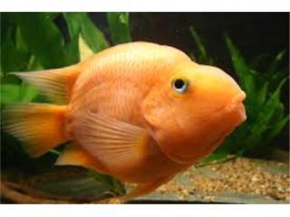 Persimon Parrot Fish, AQUARIUM XTRA