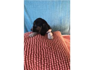 Basset hound bello, LoLa Mascotas