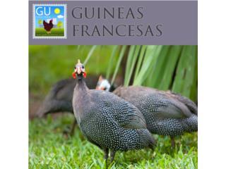 Guineitas Francesas Jumbo 787-647-4447, GALLINAS URBANAS