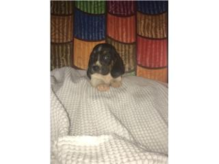 Basset hound puppy, LoLa Mascotas