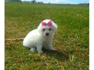 Puerto Rico Poodle Toy Bella Hembra AKC ilimitado, Perros Gatos y Caballos