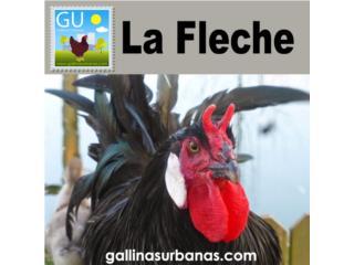 Gallinas LA FLECHE ( Exoticas)venta hoy domingo, GALLINAS URBANAS