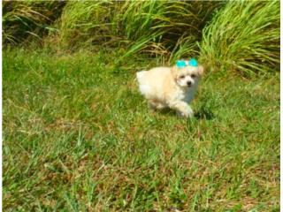 Puerto Rico Poodle Toy Hembra  AKC , Perros Gatos y Caballos