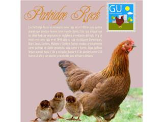Pollitos de gallinas Partridge Rock  787-647-4447, GALLINAS URBANAS