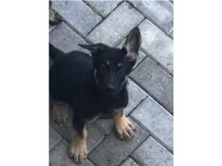 Clasificados Online Mascotas German shepherd lineas europeas AKC