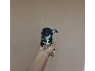 CHIHUAHUA TOY NENE TRICOLOR , PetPal