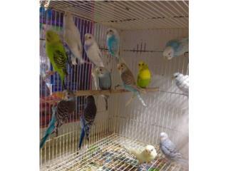 Periquitos , Isabela Pet Shop