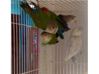 Lovebirds, Isabela Pet Shop
