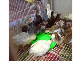 Pavitos y guineas, Isabela Pet Shop