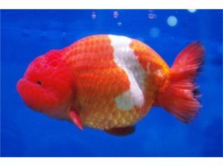 Ranchu Red & White, AQUARIUM XTRA
