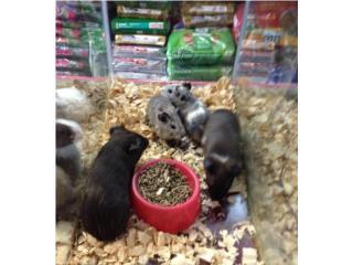 Guimos pintos,grises y mas, Isabela Pet Shop