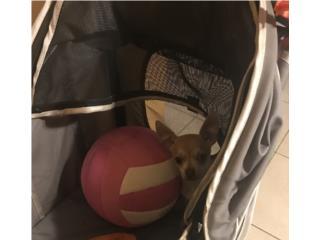 Chihuahua hembra, LoLa Mascotas