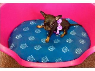 Minni Chihuahua hembra, Family Pets