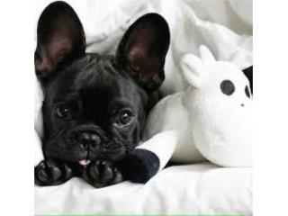 French Bulldog, Black & White Puppy AKC Puerto Rico