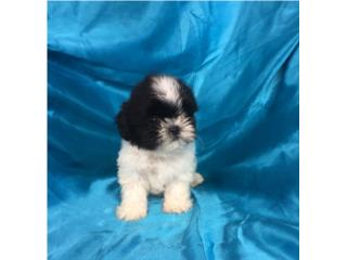 SHIH-TZU IMPERIAL MACHITO , Puppy