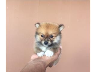 POMERANIAN MINI MACHITO, Pets