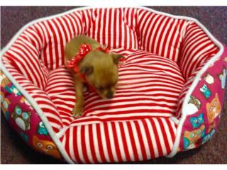 Chihuahua toys hembra con papeles , Family Pets