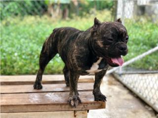 Mini Bully Nena - Jovensita (ADULTA)  , Doggie