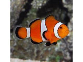 Tremendo Lote de Clown Fish Puerto Rico