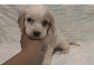 Cocker Spaniel Nene Precioso, Doggie