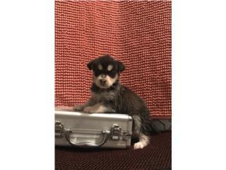 Husky puppy Precioso, LoLa Mascotas