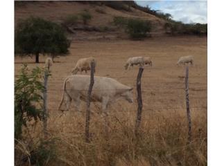 Puerto Rico Novillas Charolais Toreras , Perros Gatos y Caballos