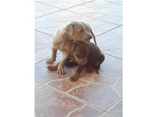 Puerto Rico Doberman pincher, Perros Gatos y Caballos