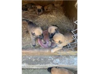 Puerto Rico Belgian Mallinois $200, Perros Gatos y Caballos