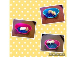 Cerditos domésticos , Isabela Pet Shop