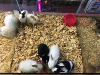 Conejos enanos variedad, Isabela Pet Shop