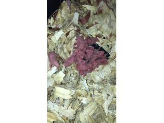 Pinkis,fussy,hamsters,ratones  Puerto Rico