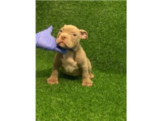 Bully Machos Lilac Tri - Papeles UKC, Doggie