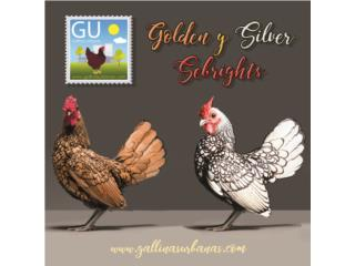 Pollitos Golden y Silver Sebright este doming Puerto Rico