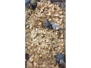 Lovebirds bebes, Isabela Pet Shop