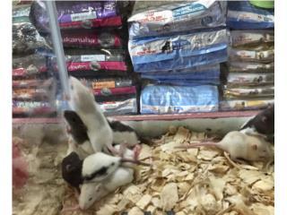 Ratas small , Isabela Pet Shop