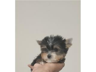 YORKIE TEA CUP HEMBRA CON PAPELES, Dogs