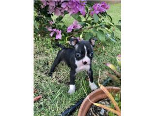 Clasificados Online Mascotas Boston Terrier Hembra