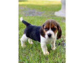 Puerto Rico Hermosos Beagles, Perros Gatos y Caballos