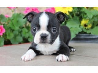 Puerto Rico Boston Terrier!! Vacunados y Desparacitados , Perros Gatos y Caballos