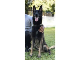 Pastor Belga Malinois Aliquam Canes, Another Level Dog Training